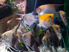 Angelfish / angel fish