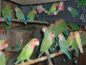 LOVEBIRD  FOR SALE BABIES READY TO HAND FEED