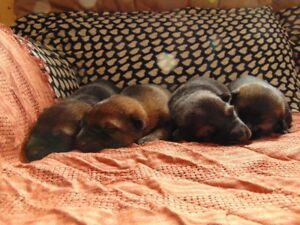 CKC Reg. German Shepherd Puppies!!!