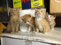 4 gorgeous Bengal cross short haired kittens. Last one left