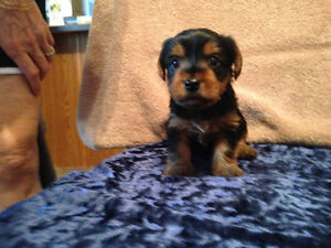3 Yorkie Puppies for Sale