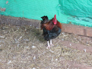Rooster For Sale