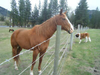 Quarter Horse Gelding for sale or trade for cows