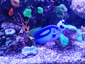 Blue hippo tang(large)