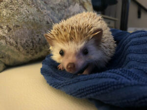 Hedgehog - rehome