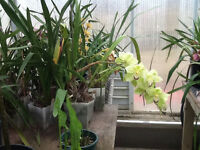 Orchid plants for sale