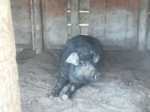 2 Mulefoot Pigs - Boar and Sow - Breeding pair