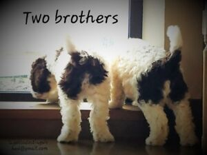 Rare Ancient water dog puppies for sale (Lagotto Romagnolo)