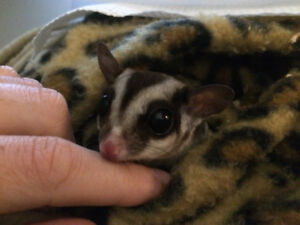 Two (neutered) Male Gliders Looking for a New Home