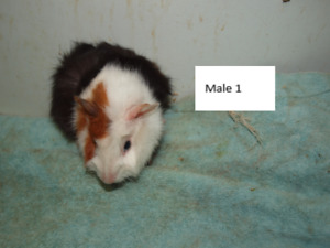 Male & Female Guinea Pigs