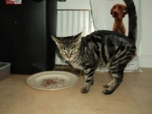 Missing Tabby Cat Female Spayed East End