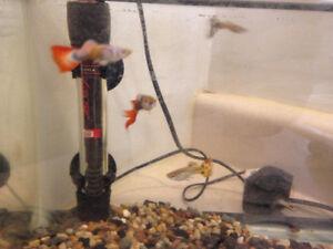 Guppies (Adult and Juvenile) and Ramshorn Snails