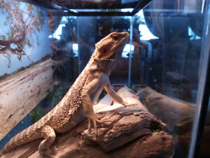 male bearded dragon he is very healthy and active .