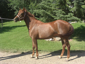 DOUBLE REGISTED MORGAN CROSS MARE