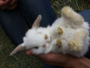 Cute and cuddly lop bunnies!
