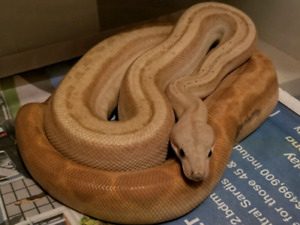 Boas looking for new homes