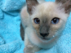 Chatons Siamois   Pure Siamese Kittens