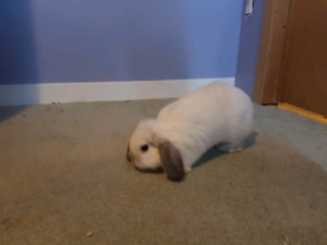Holland Lop Bunnies, Ready to Go