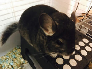 wanted: 2~3 year old female cute chincilla.