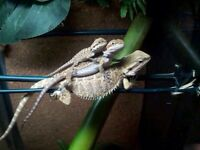5 bearded dragons for sale $25 each