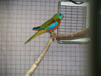 Red Breasted Turquoise Parakeet