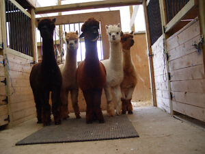 Registered and Unregistered Alpacas for sale