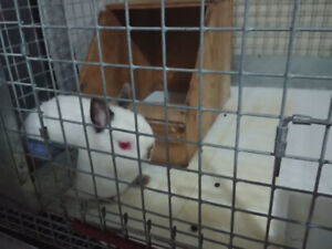 Bunny Rabbit with cage for sale