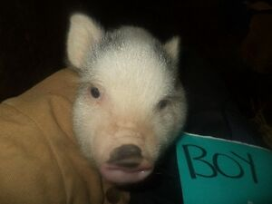Cute baby pot belly pigs 5 girls and 2 boys Kitchener / Waterloo Kitchener Area image 3