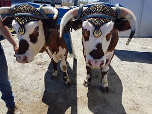 oxen for sale