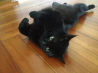 Beautiful black cat free to a loving home