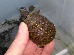 Baby Three Toed Box Turtle