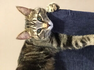 Lost grey and black tabby Country Hills Area