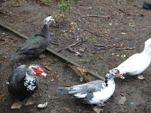 Muscovy Breeding Flock