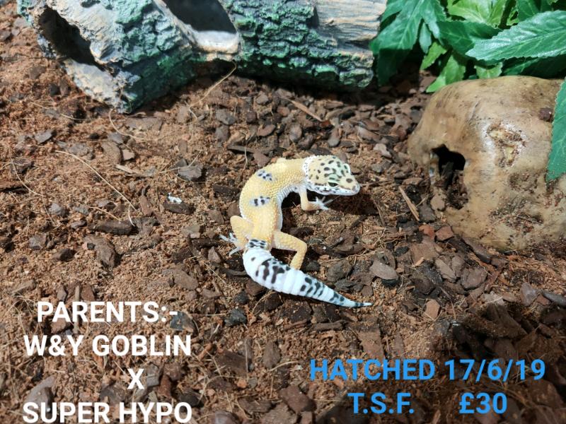 Baby Leopard gecko morphs | in East London, London | Gumtree