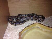 Pair of Royal pythons tame with viv