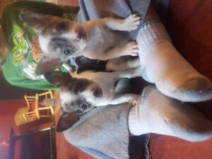 Chihuahua blanc et merle
