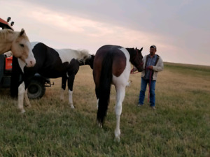 Two geldings for sale