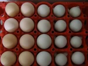 Fertile chicken eggs one dozen Martin Gosnells Area Preview