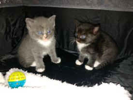 Gorgeous chunky Russian blue x kittens