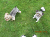 Wanted -- some one to to home board 2 small yorkies.