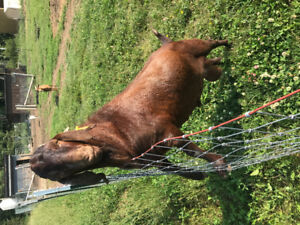 4 bred goats one pure boer billy. 900$