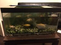 Aquarium 2ft x 1ft x 1ft with gravel Enheim Filter and 4 Gold Fishes Cold water fishes Full setup