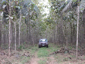 Teak Tree Plantation Farm in Belize Central America w land