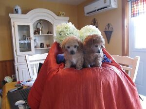 Toy red poodle puppies