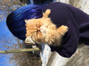 Found: ginger Persian cat - Bowness