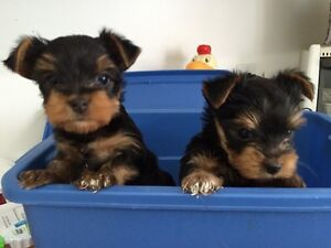 TWO FEMALE YORKSHIRE TERRIERS