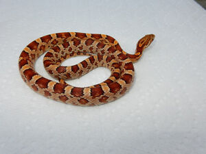 Corn Snake Hatchlings, many different colours.