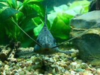 Large Featherfin Catfish Synodontis Eupterus Tropical Cat Fish