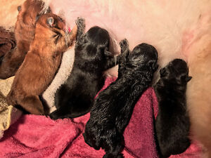 CHOW CHOW Puppies for SALE London Ontario image 4