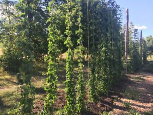 Hops for Homebrewers available in September